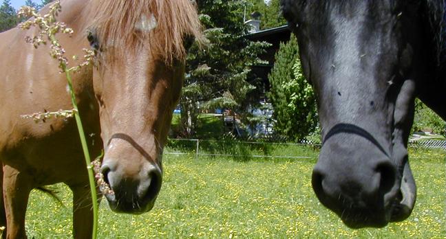 Pferde betrachten TT