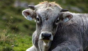 Das Rindvieh